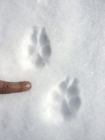 Suivre les traces du renard