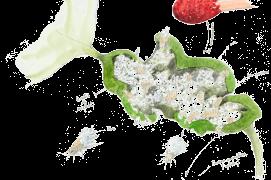 En ouvrant une galle, on peut apercevoir des pucerons de différentes tailles, dont des immatures aptères (sans ailes), entourés de cire protectrice et de gouttes de miellat. » / © Benoît Perrotin