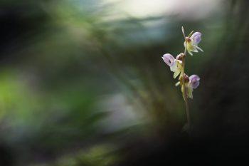 Epipogon sans feuilles émergeant dans le sous-bois ombragé d'une hêtraie.