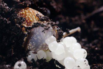 Escargot petit-gris en train de pondre ses œufs blancs comme une ribambelle de petites perles