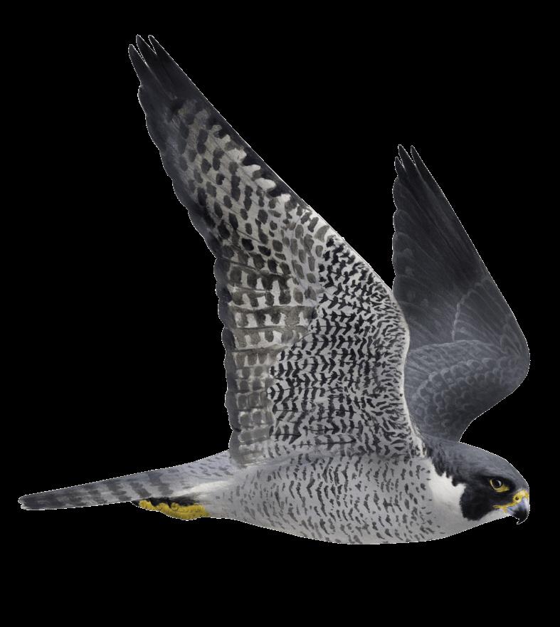 Un faucon flashé à 389 km/h