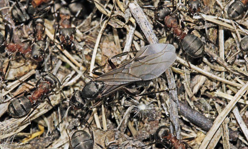 Pourquoi certaines fourmis ont des ailes ?