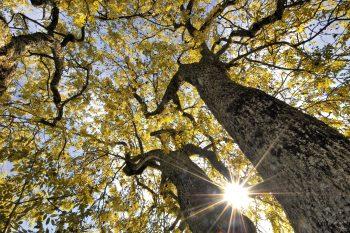 Frêne en automne