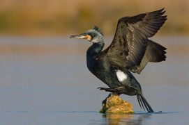 Grand cormoran nicheur / © Thomas Goetzfried / Biosphoto