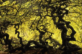 Hêtres tortillards dans une étrange forêt à Verzy. On pense que ces arbres biscornus doivent leur aspect à une mutation génétique.