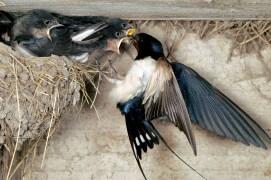 Hirondelle rustique nourrissant les oisillons / © Christian décout / Biosphoto