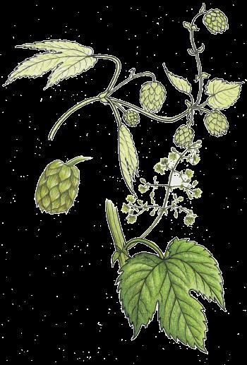 Le houblon ne sert pas qu'à faire de la bière, dégustez le en salade