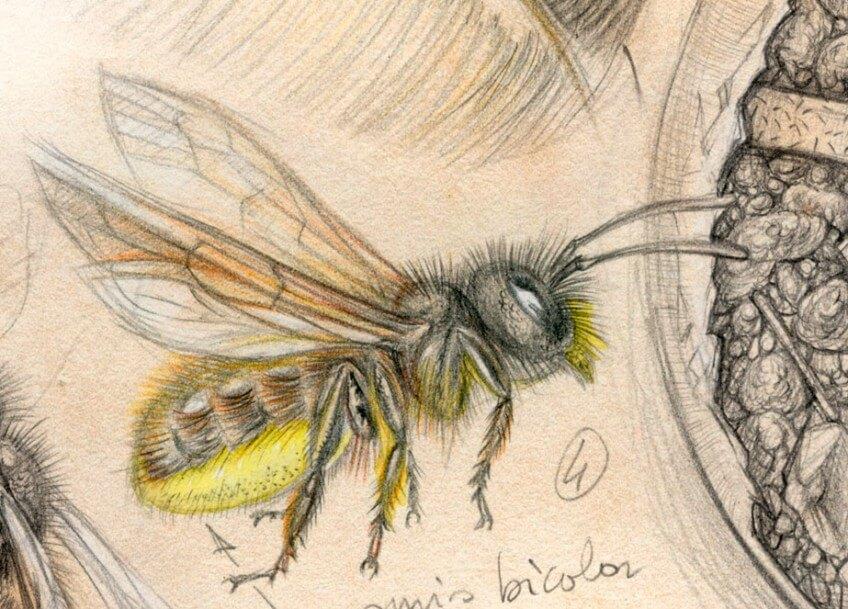 Les abeilles osmies squattent les vieilles coquilles d'escargots