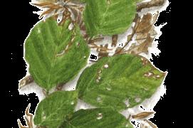 Juin - les rameaux du hêtre sont parcourus d'un large éventail de nuances de vert / © Jacques Rime