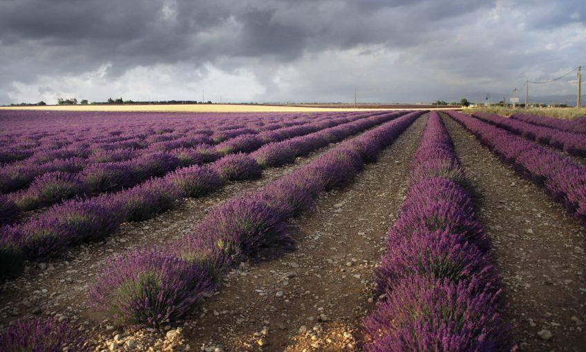 Valensole, le pays des champs bleus