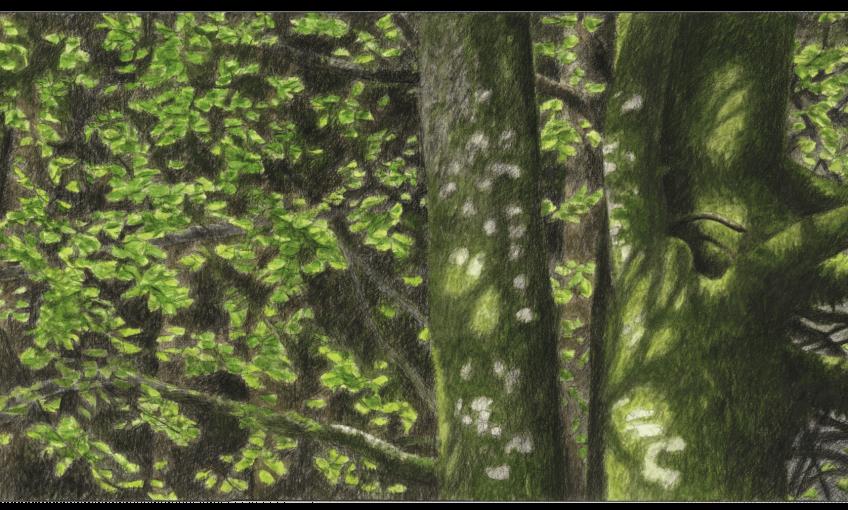 Hêtre arbre éternel