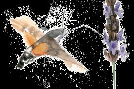 Le moro-sphinx est un papillon de nuit également diurne qui pond principalement sur les gaillets. Grand migrateur, il réussit à passer l'hiver de plus en plus au nord grâce au changement climatique. / © Sylvain Leparoux