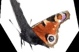 Le paon de jour pond surtout sur les orties dans les endroits frais ou humides. Migrateur occasionnel, il peut aussi hiverner adulte dans un trou d'arbre ou une maison. / © Sylvain Leparoux