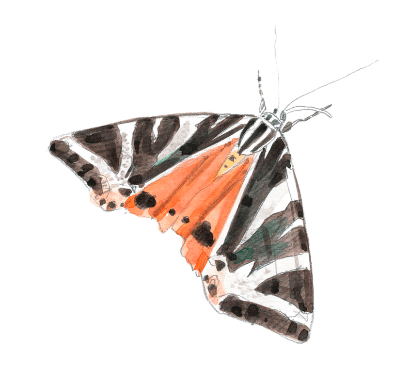 L'écaille chinée est un papillon de nuit qui vole aussi en plein jour. Elle pond sur des orties ou des sauges. Les chenilles passent l'hiver en dormance et la nymphose a lieu au printemps. Les adultes migrent et hibernent dans le sud.