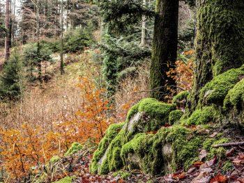 Les forêts du canton de Neuchâtel sont réputées pour leur gestion jardinée où se mélangent des arbres de tous les âges.