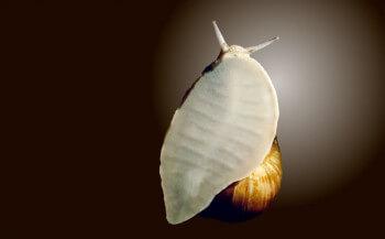 L'escargot avance par d'imperceptibles vagues propagées à travers son muscle locomoteur afin de rester collé à son support.