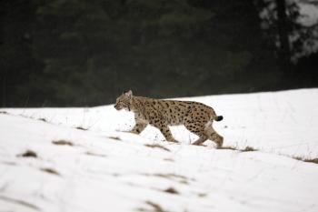 Lynx boréal traversant une combe.