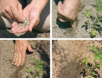 Un tournesol planté dans son jardin pour nourrir les oiseaux