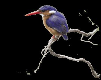 Martin-pêcheur, une histoire de famille tropicale