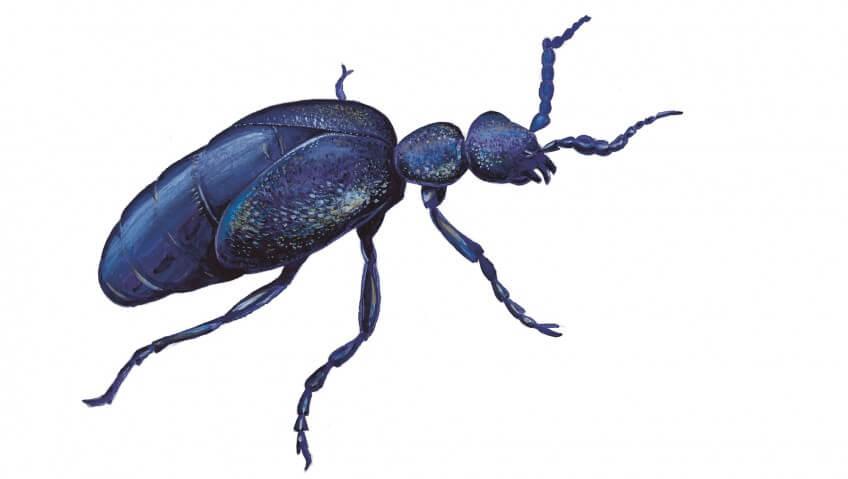 Le méloé un coléoptère empoisonné
