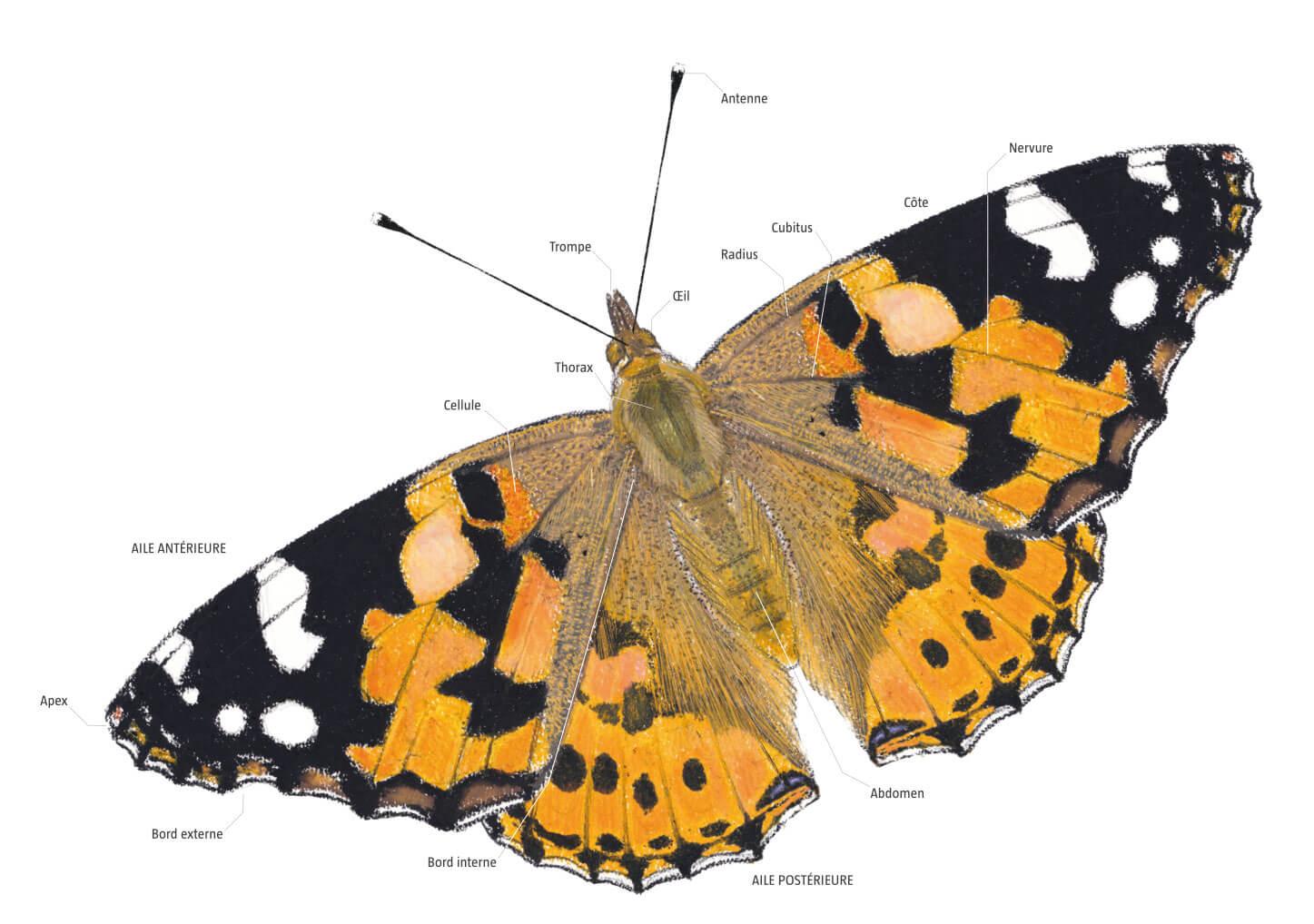 Naissance d'une vanesse, le papillon belle-dame