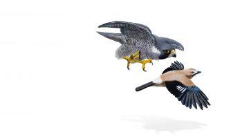 Ce faucon pèlerin attaque un geai des chênes.