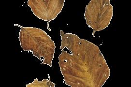 Novembre - les feuilles de hêtre perdent progressivement leurs couleurs automnales / © Jacques Rime
