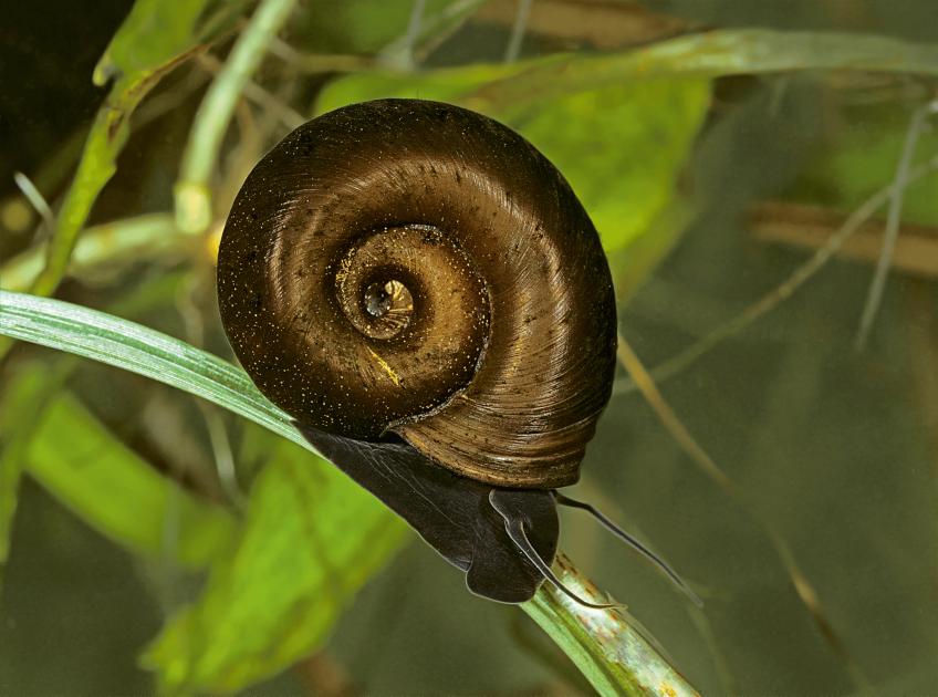 Les escargots une diversité menacée