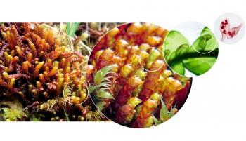 Pleurozia purpurea, une mousse carnivore