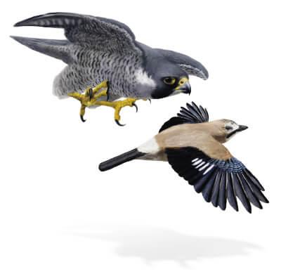 Le faucon missile