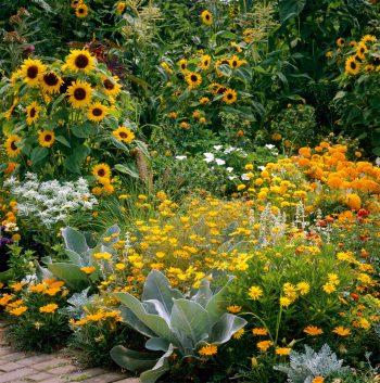 Quelques tournesols dans un jardin