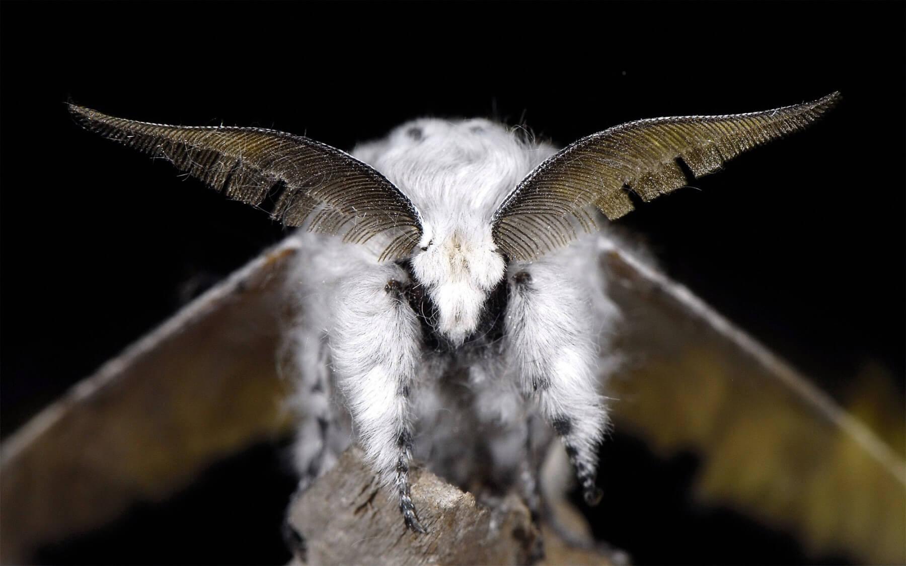 Lumi res sur les papillons de nuit - Gros papillon de nuit dangereux ...