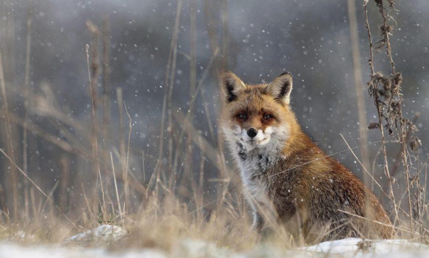 Objectif renard