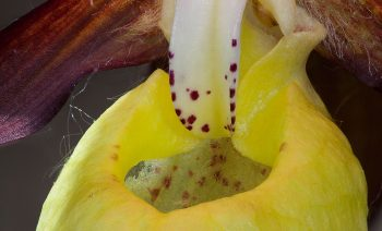 L'entrée béante des nasses jaunes du sabot-de-Vénus attire irrémédiablement les abeilles pollinisatrices.