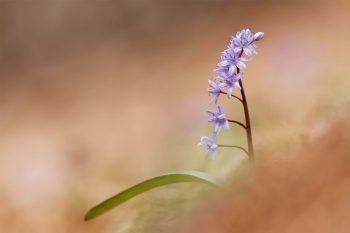 Scille à deux feuilles (Scilla bifolia).…