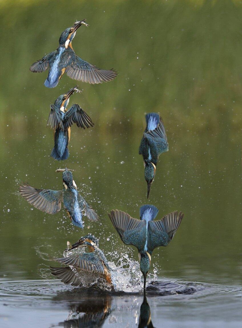 Martin-pêcheur, l'ennemi juré des poissons
