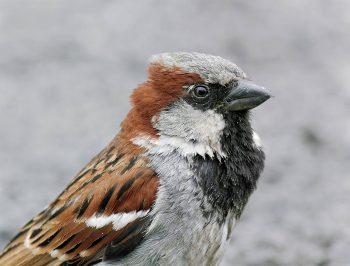 Seuls les moineaux domestiques mâles possèdent une marque blanche sur l'aile. Peu visible en hiver, elle ressort avec la mue printanière. La santé de l'oiseau et la disponibilité en nourriture à cette période précise déterminent la taille finale de ce signal décisif pour les femelles.
