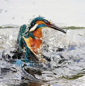 Le martin-pêcheur commet ses crimes sous l'eau