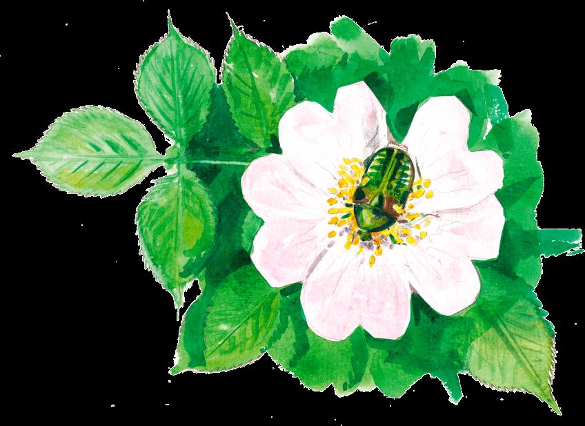 La haute saison des rosiers sauvages