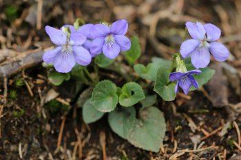 Violette des forêts (Viola Reichenbachiana)