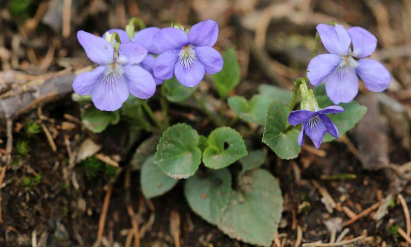 Cuisinez les feuilles de la violette