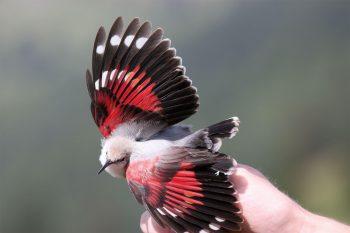 17 septembre 2008: Au col de Jaman dans les Préalpes vaudoises, l'ornithologue Luc Henry a la surprise d'attraper dans un filet un tichodrome. Quelques minutes plus tard, Lionel Maumary tient brièvement l'oiseau en main.