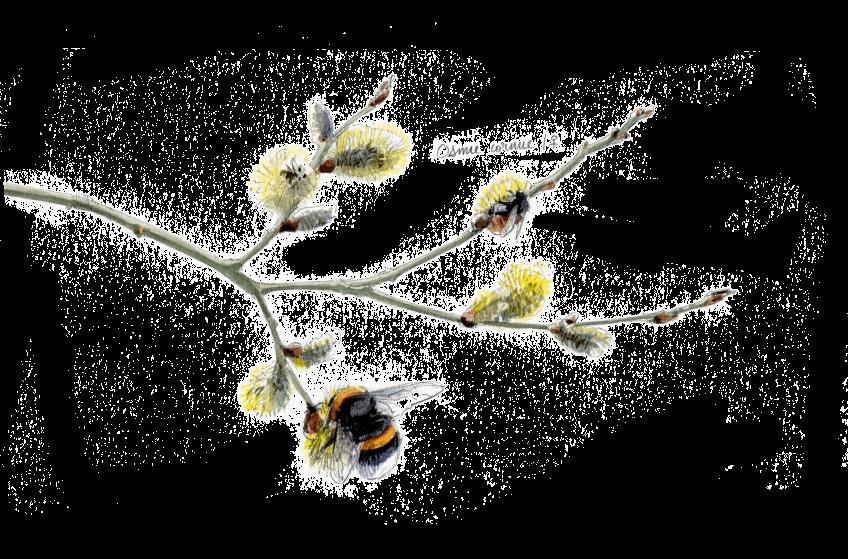 Le sacre du printemps chez les bourdons