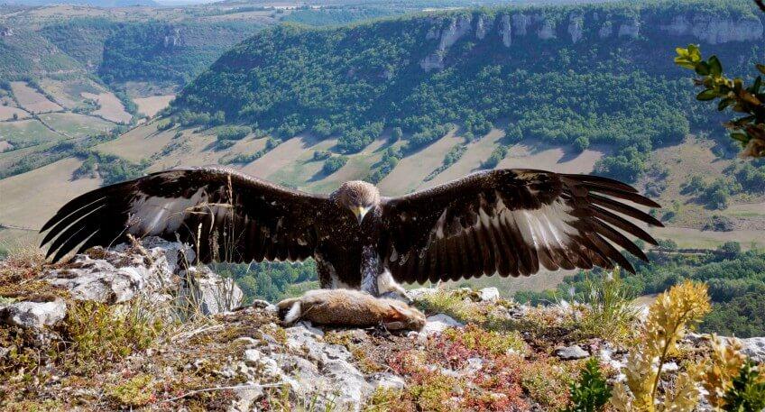 Vertige sur rencontre, film sur l'aigle royal
