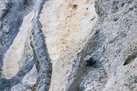 Avec ses crampons d'alpiniste, le tichodrome a taillé sa légende de grimpeur hors pair. / © Christophe Sidamon-Pesson