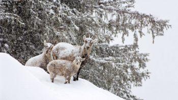 Bouquetins des Alpes (Capra ibex) - Parc du Grand Paradis (Italie), 3 décembre 2007 à 10h13
