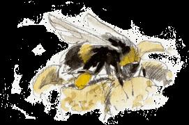 « Bourdon déposant du pollen à l'aide de sa deuxième paire de pattes. » / © Benoît Perrotin