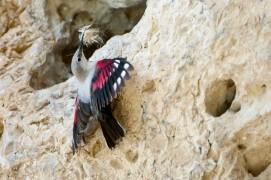 Ce tichodrome amène des matériaux pour la construction du nid. / © Christophe Sidamon-Pesson
