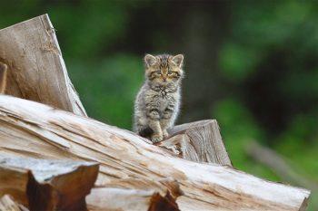 Chat forestier (Felis silvestris) - Forêt vosgienne, le 28mai2009 à 20h09.
