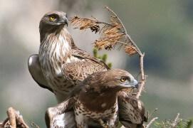 Circaètes Jean-le-Blanc au nid / © Lionel Maumary